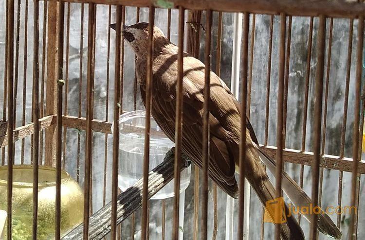 ciri ciri Burung Trucuk