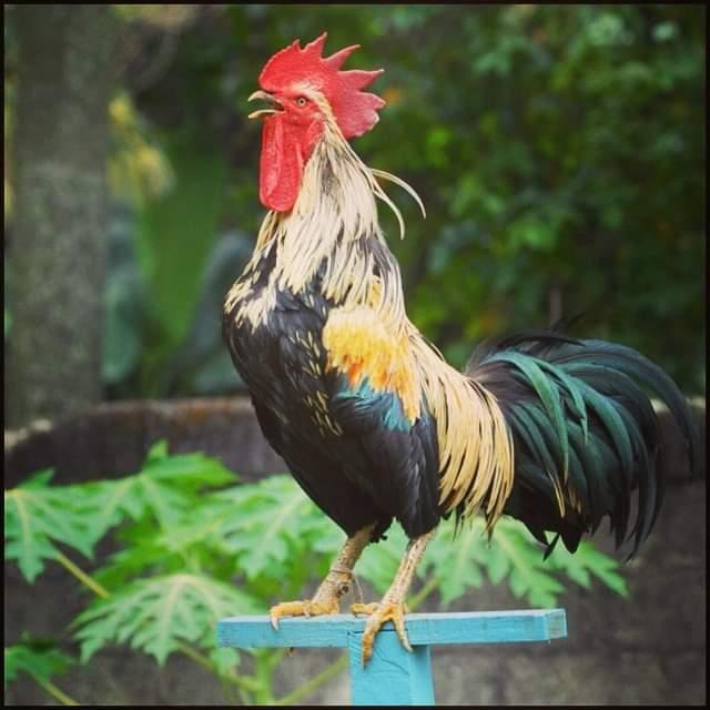 ciri karakteristik ayam ketawa