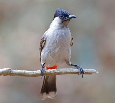 ciri karakteristik burung kutilang