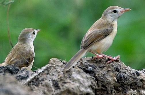 ciri karakteristik burung prenjak lengkap
