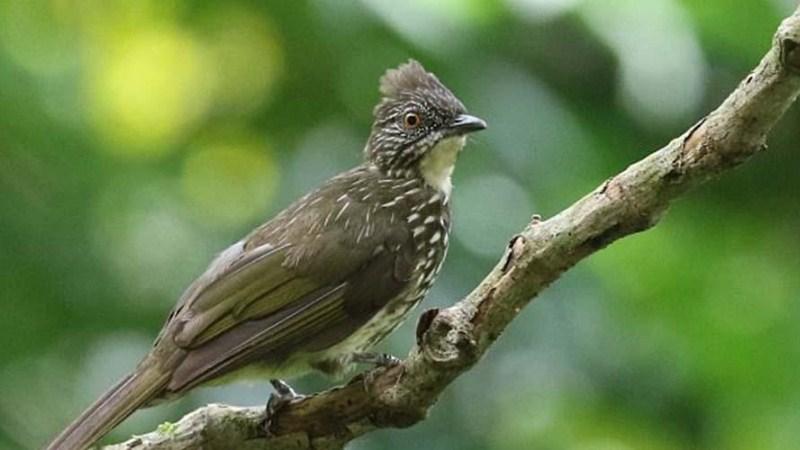 gambar burung cucak kerinci