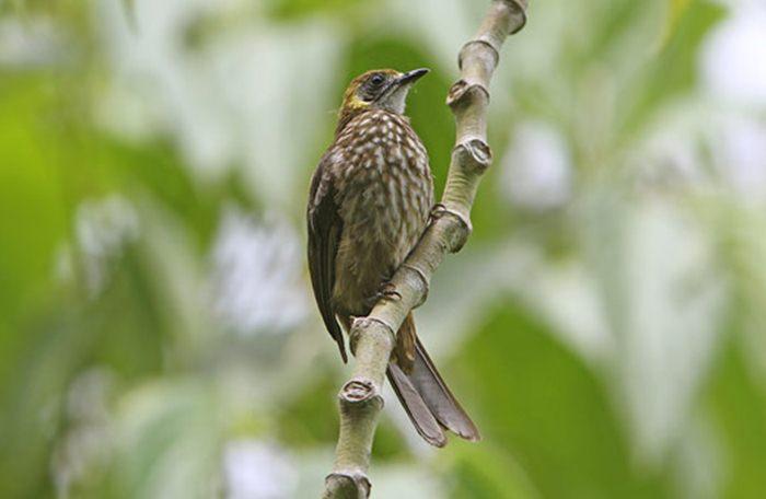gambar burung cucak mutiara