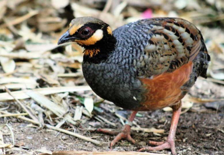 gambar burung gemak puyuh gonggong jawa