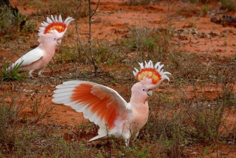 gambar burung kakatua australia