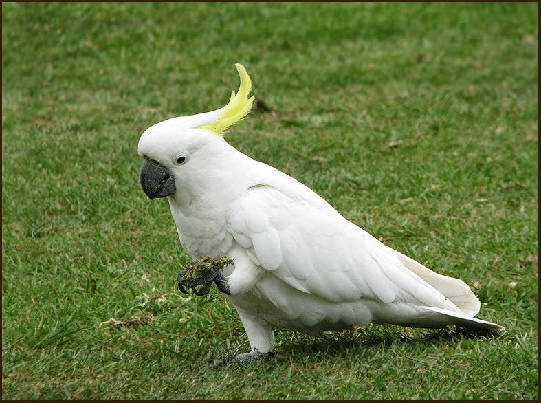gambar burung kakatua putih