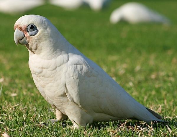 gambar burung kakatua rawa