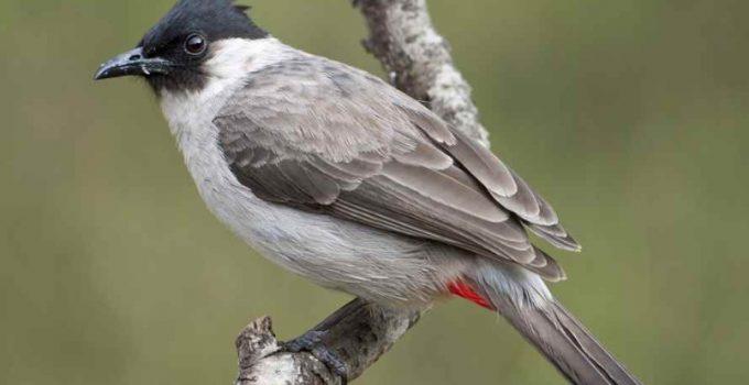 gambar burung kutilang jawa