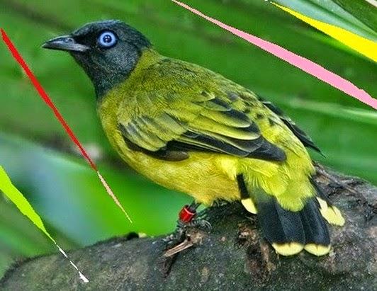 gambar burung kutilang sutra