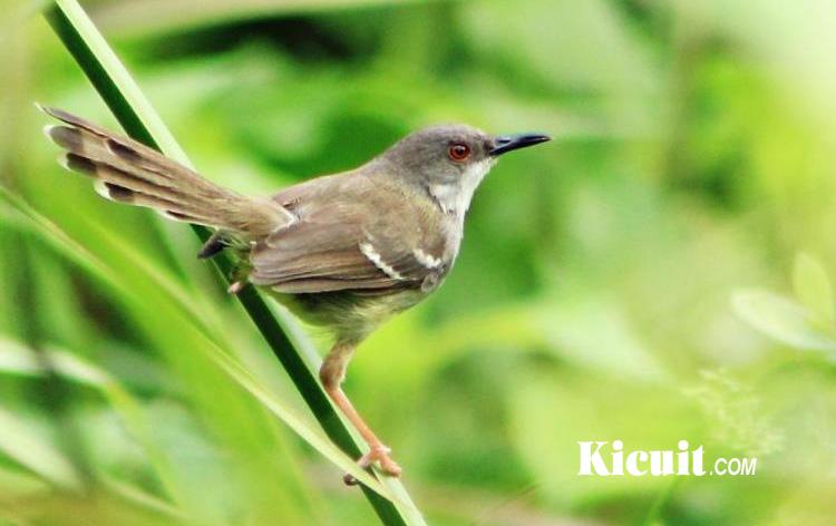 gambar burung prenjak lengkap