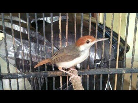 gambar jenis burung prenjak coki
