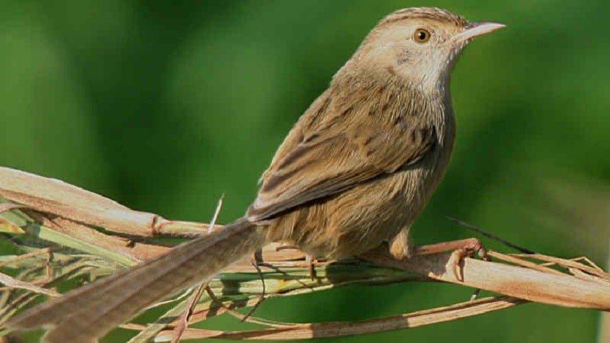 gambar jenis burung prenjak kristal