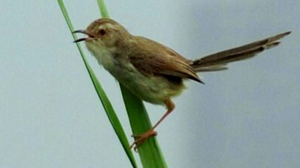 gambar jenis burung prenjak pari sawah