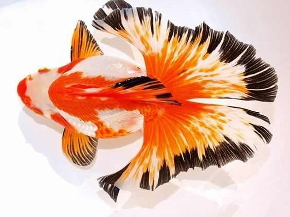 gambar jenis ikan mas koki butterfly tail