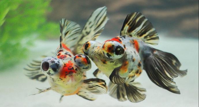 gambar jenis ikan mas koki calico
