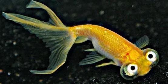 gambar jenis ikan mas koki choten gen