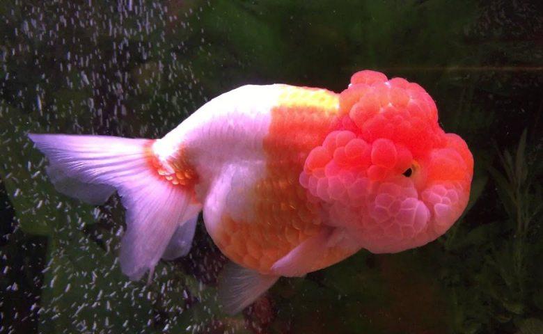 gambar jenis ikan mas koki lionhead