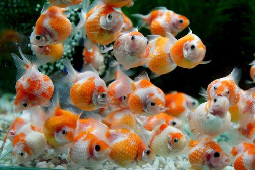gambar jenis ikan mas koki mutiara