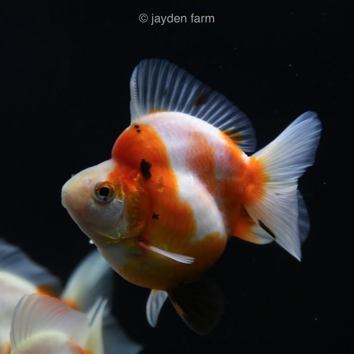 gambar jenis ikan mas koki ryukin