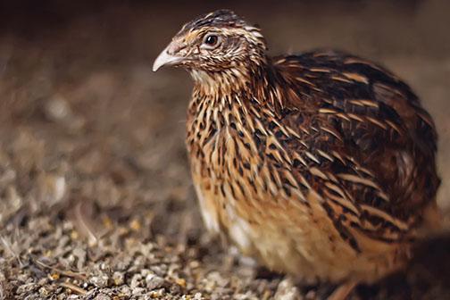 info burung gemak puyuh lengkap