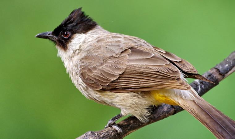 info burung kutilang
