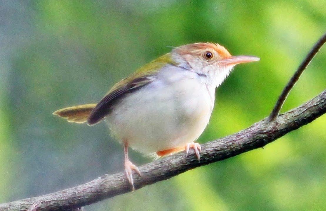 info burung prenjak lengkap
