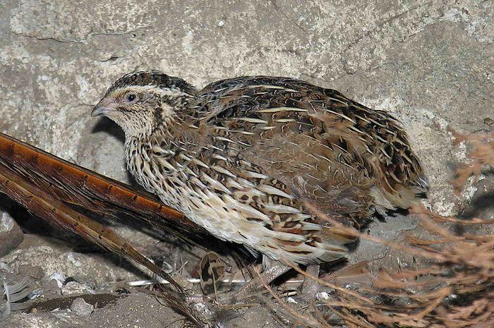 info harga burung gemak puyuh lengkap
