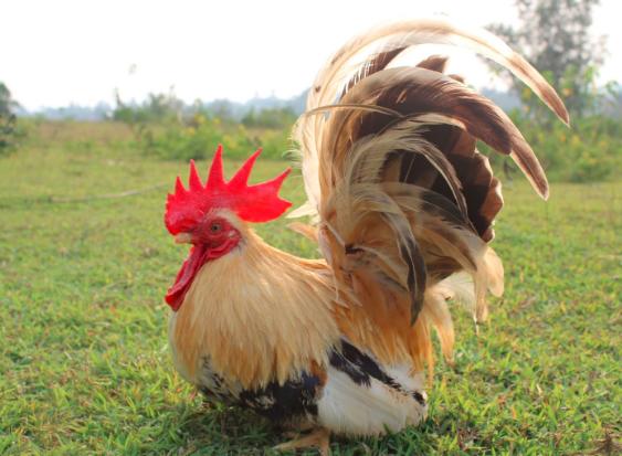 info lengkap Ayam Kate