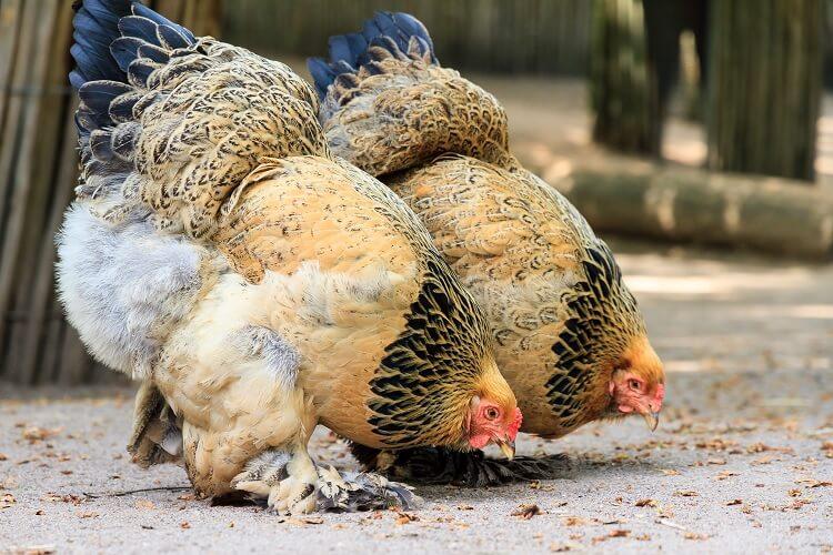 info lengkap ayam brahma