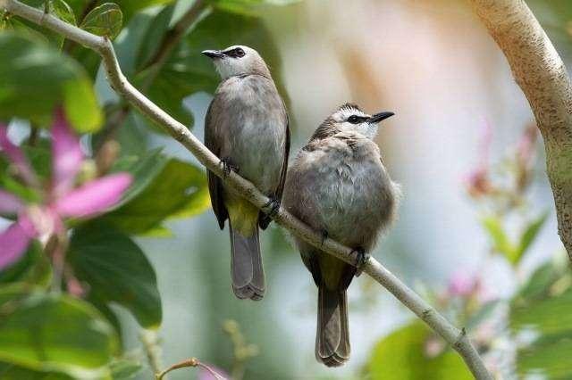 makanan Burung Trucuk