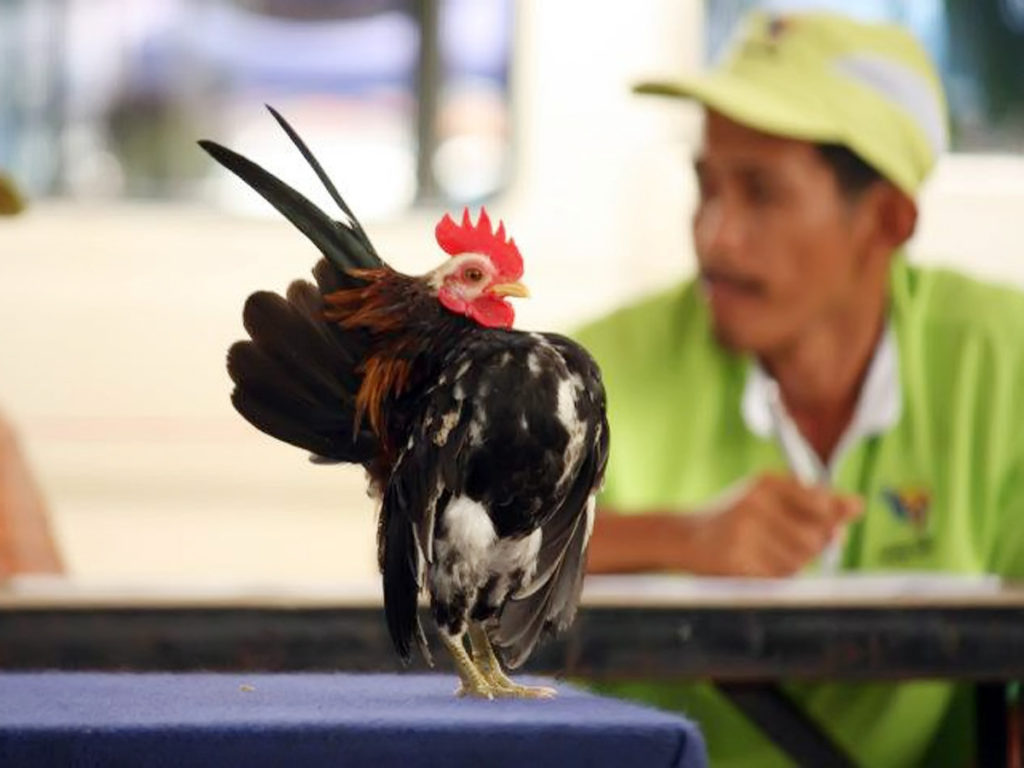 manfaat ayam serama lengkap