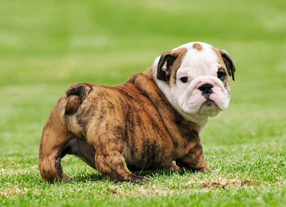 merawat anjing bulldog pembuangan kotoran