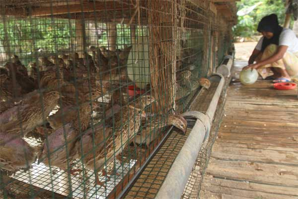 pemeliharaan burung gemak puyuh lengkap