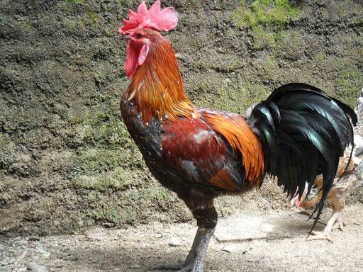 sejarah ayam pelung