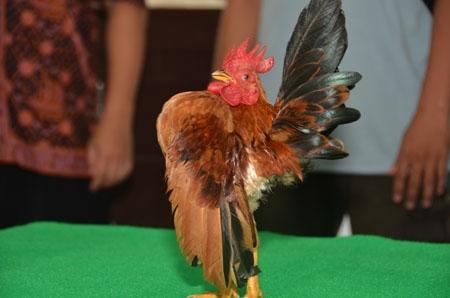 sejarah ayam serama lengkap