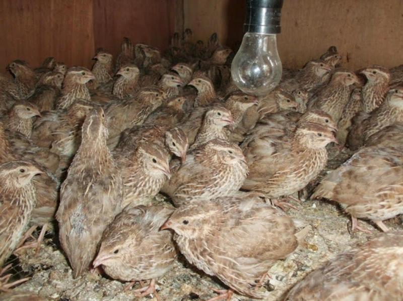 ternak sangkar burung gemak puyuh lengkap