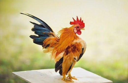 tubuh Ayam Kate