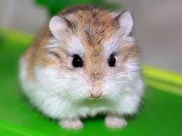 cara merawat hamster Roborovski