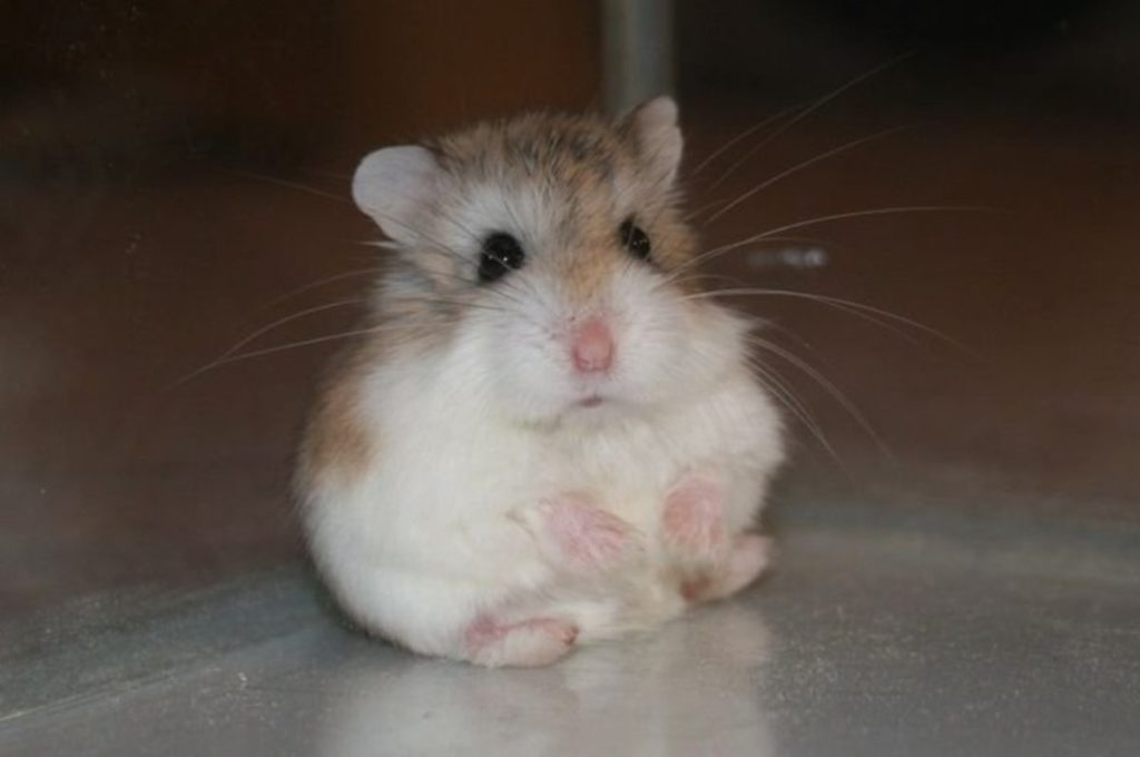 ciri karakteristik hamster Roborovski