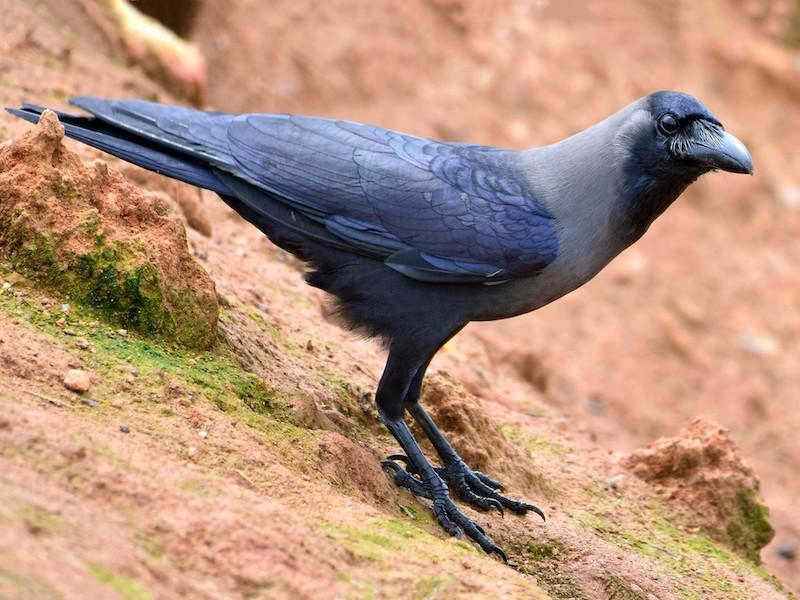 fakta unik burung gagak