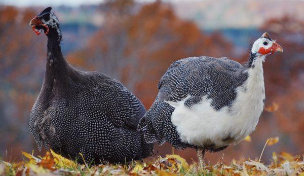gambar ayam mutiara