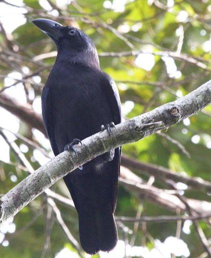 gambar burung gagak banggai