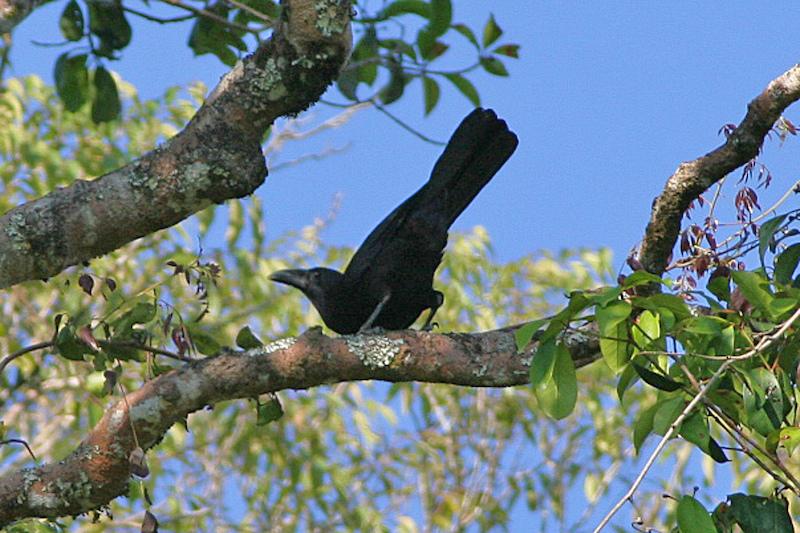 gambar burung gagak flores