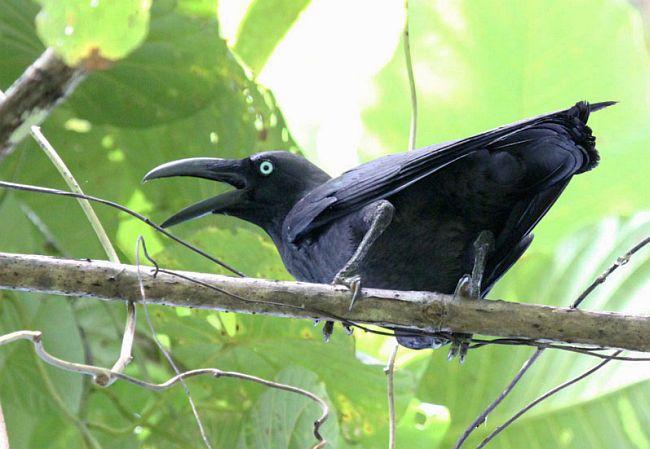 gambar burung gagak halmahera