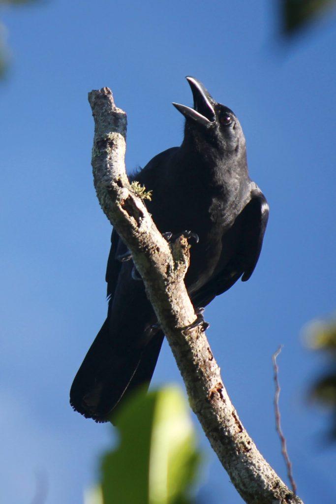gambar burung gagak hutan