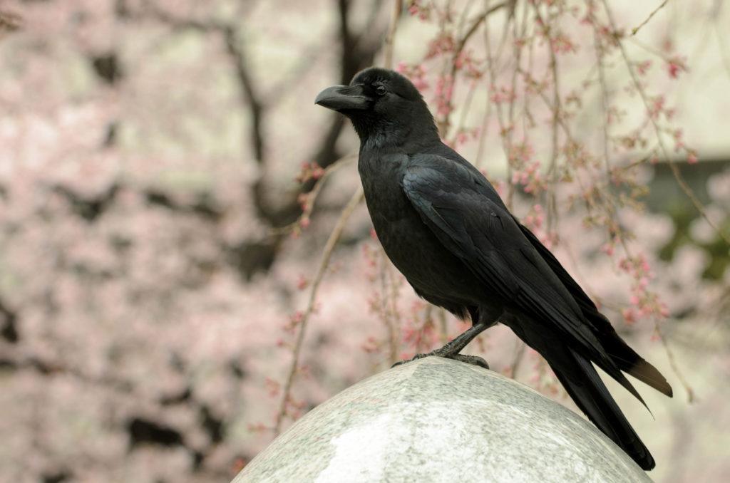 gambar burung gagak kampung