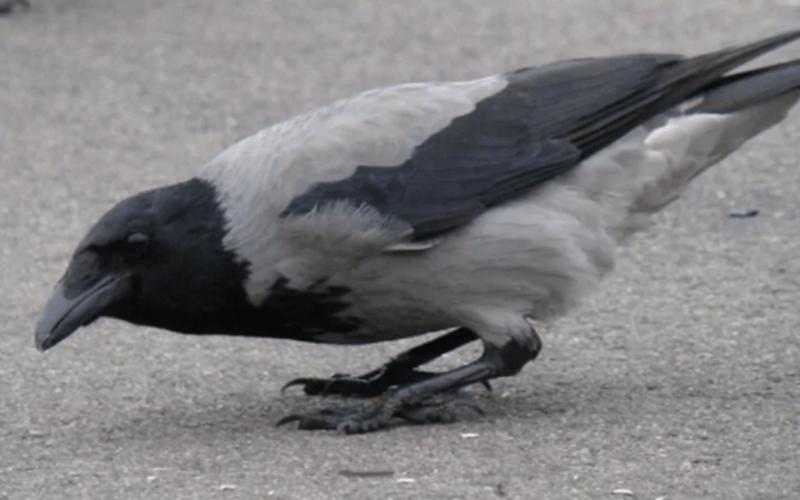 gambar burung gagak kelabu