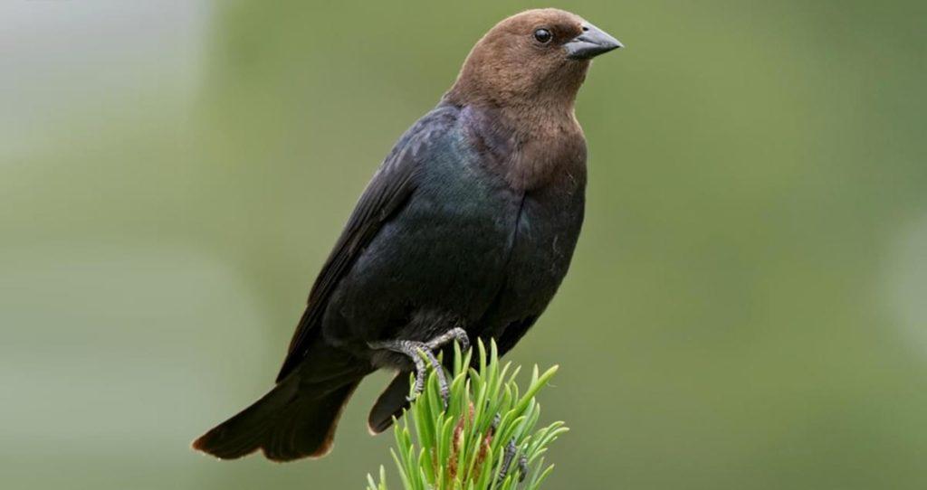 gambar burung gagak kepala cokelat