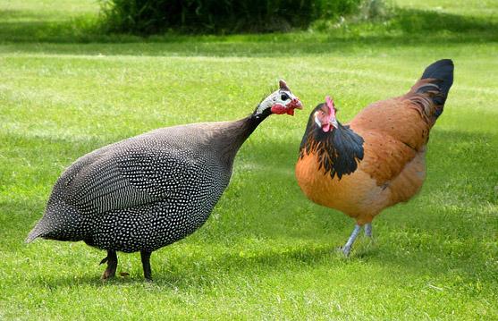 harga ayam mutiara
