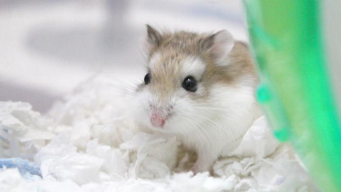 harga hamster Roborovski