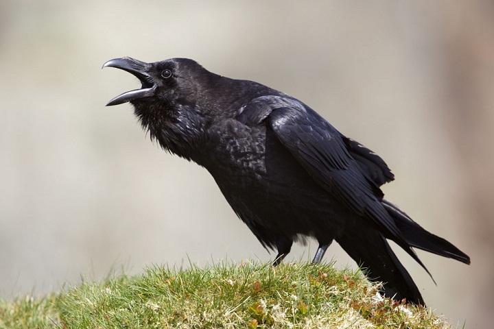 info lengkap burung gagak